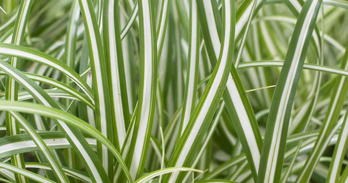 Carex 'Everlime'