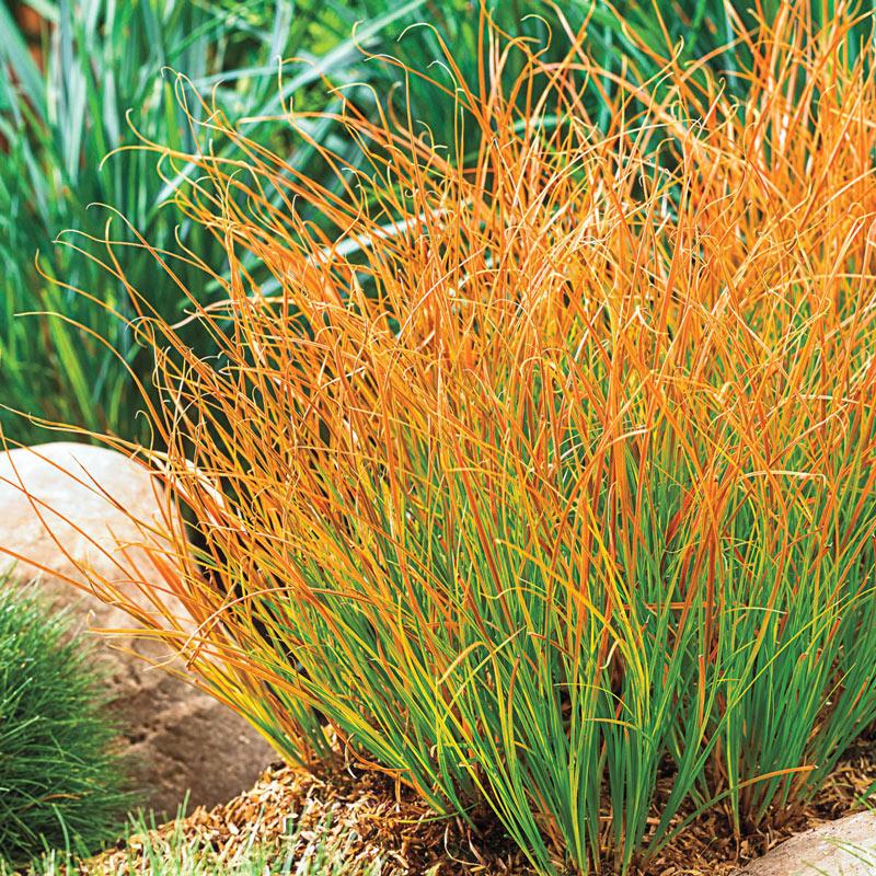 Grass - Carex t. 'Prairie Fire'