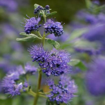 Caryopteris 'Blue Empire'