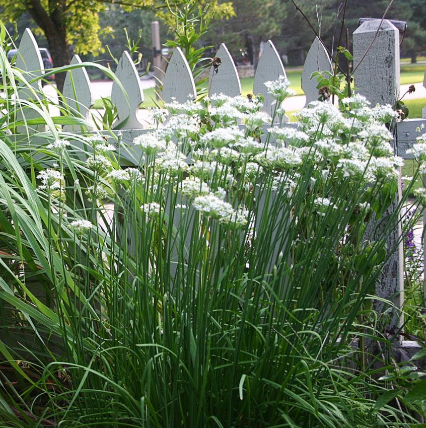 Chives- Allium tuberosum