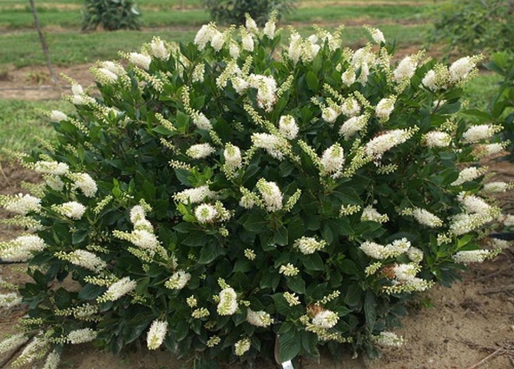 Clethra alnifolia 'Hummingbird'
