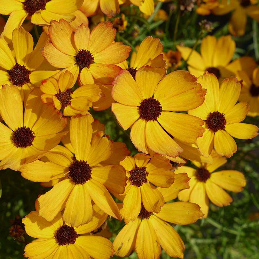 Coreopsis Permathread 'Butter Rum'