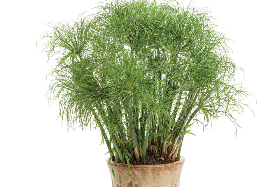 Grass - Cyperus papyrus 'Prince Tut'