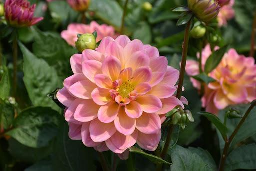 Dahlia Rose Bicolor