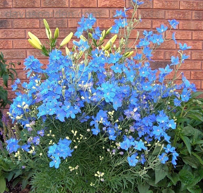 Delphinium g. 'Blue Mirror'
