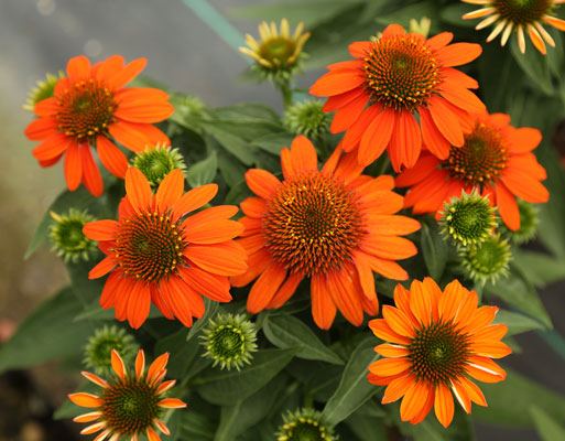 Echinacea Sombrero 'Adobe Orange'