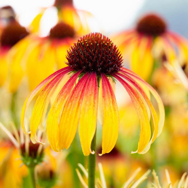 Echinacea Meadow Mama 'Fiery'