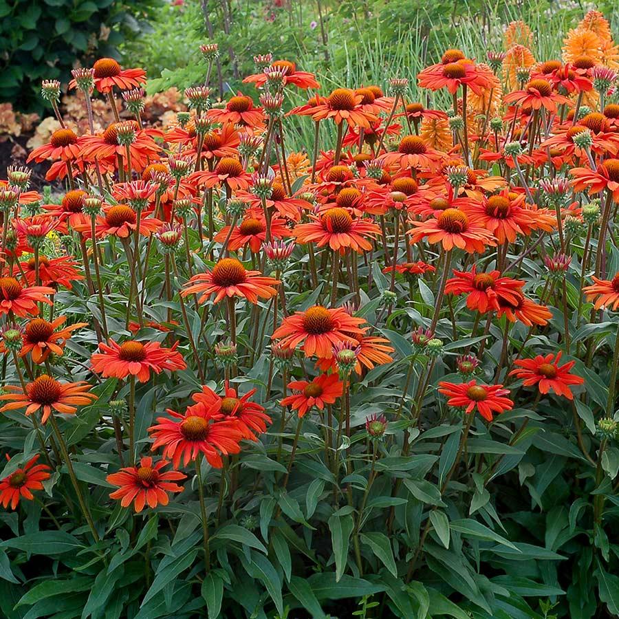 Echinacea Kismet 'Intense Orange'