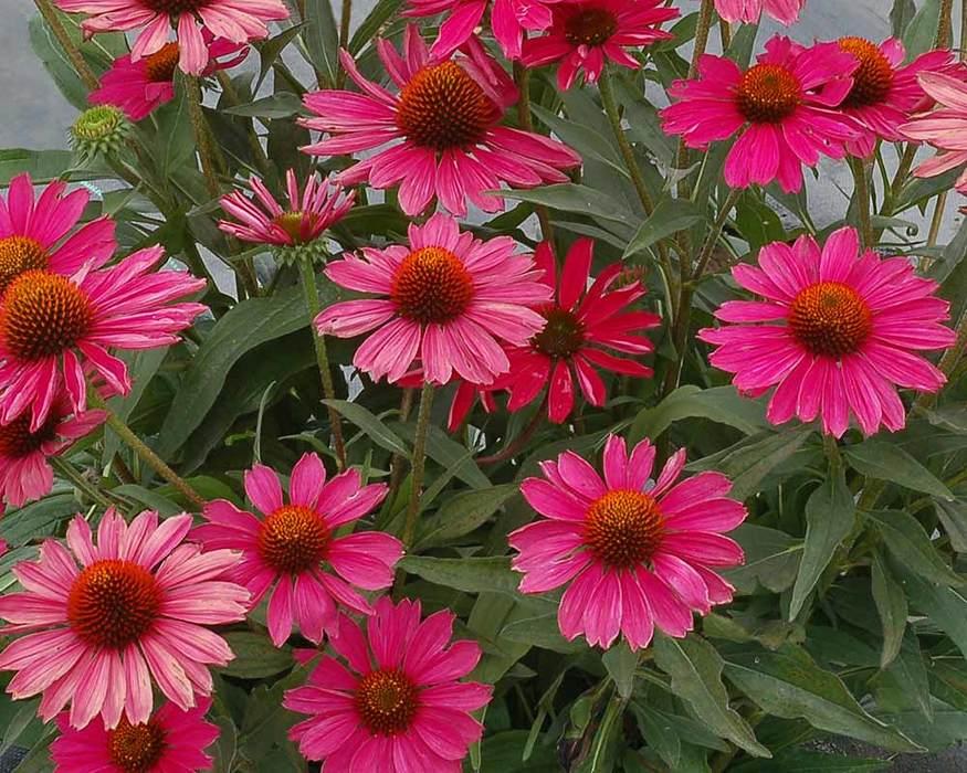 Echinacea Kismet 'Raspberry'