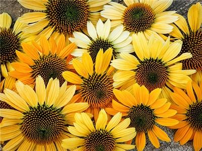 Echinacea p. 'Mellow Yellows'