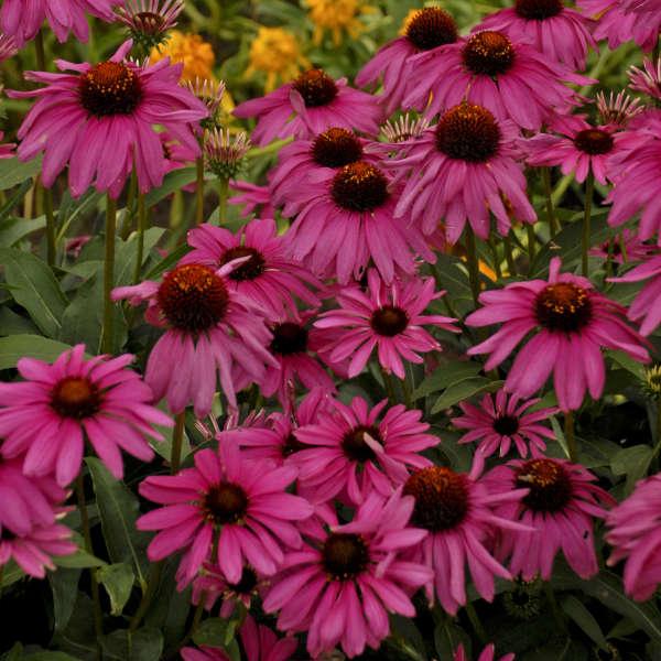 Echinacea Butterfly 'Purple Emperor'