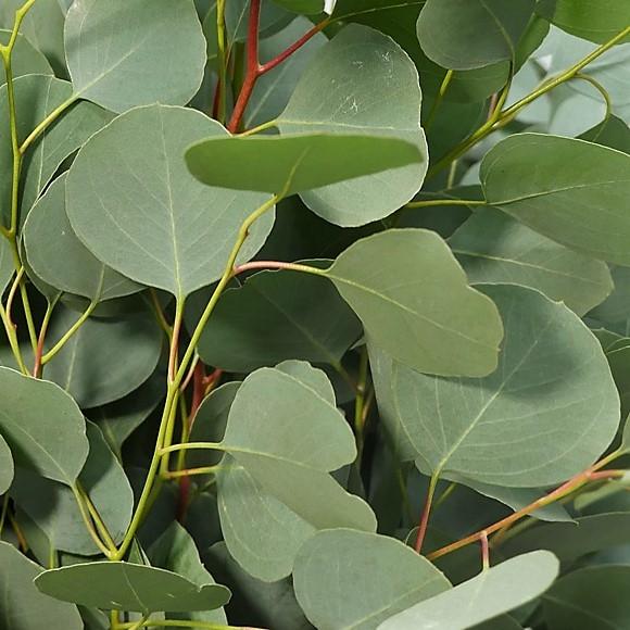 Eucalyptus - Eucalyptus 'Silver Dollar'