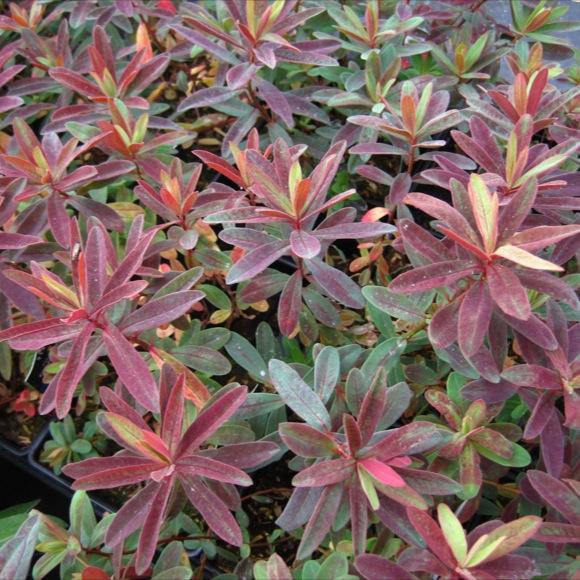 Euphorbia 'Bonfire'