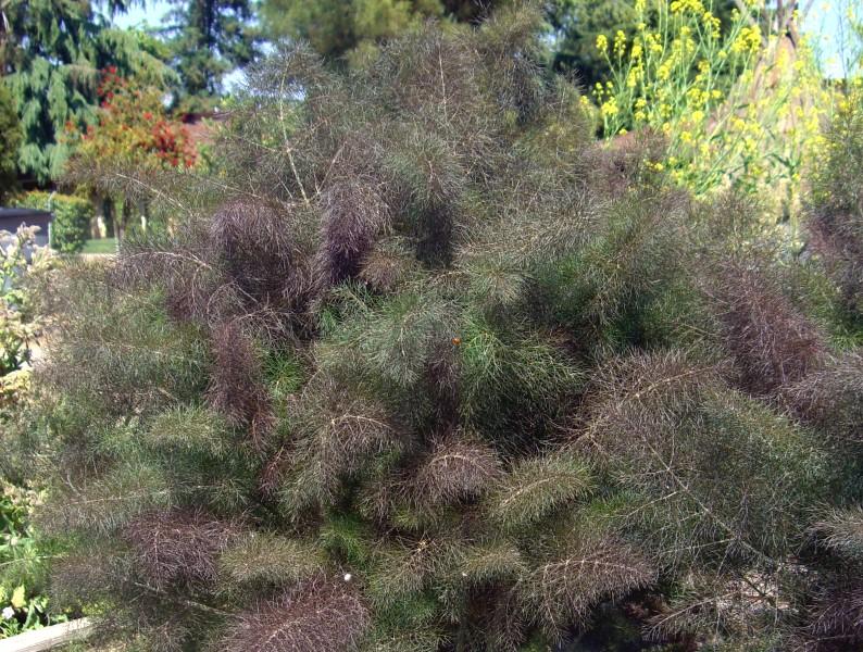 Fennel - Foeniculum vulgare 'Bronze'