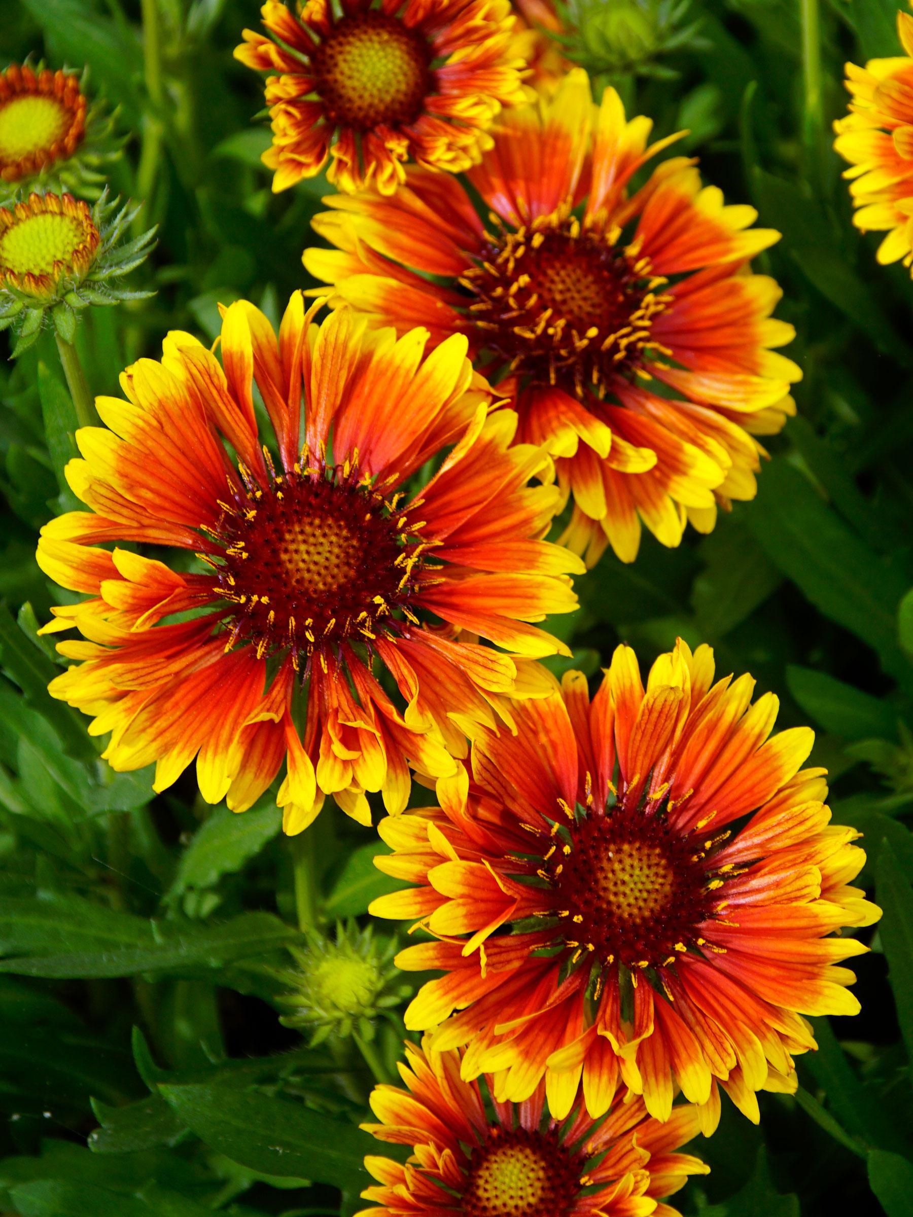 Gaillardia Spintop 'Copper Sun'