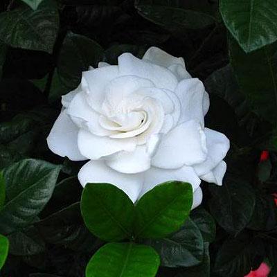 Gardenia jasminoides 'Aimee Yashioka'