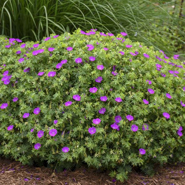 Geranium 'New Hampshire Purple'