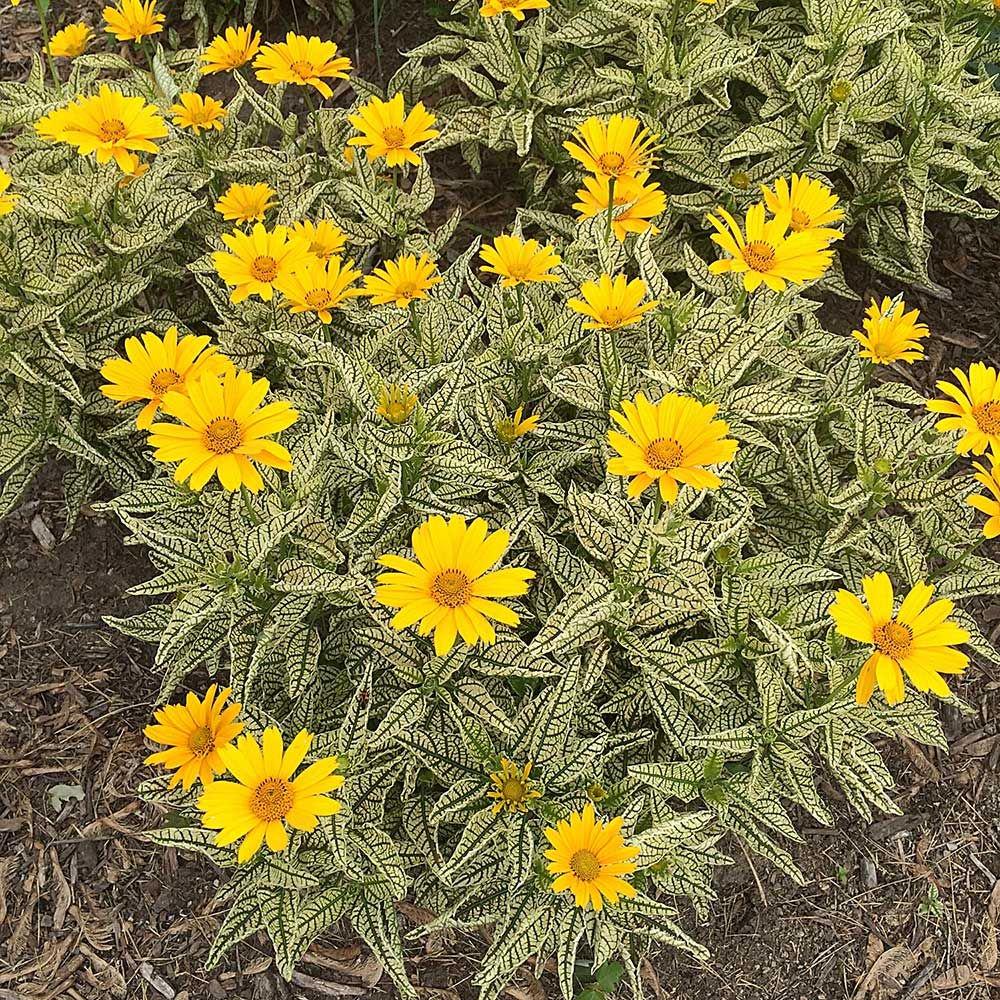 Heliopsis 'Sunstruck'