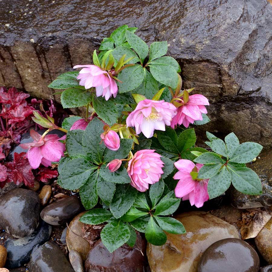 Helleborus Northstar Pink