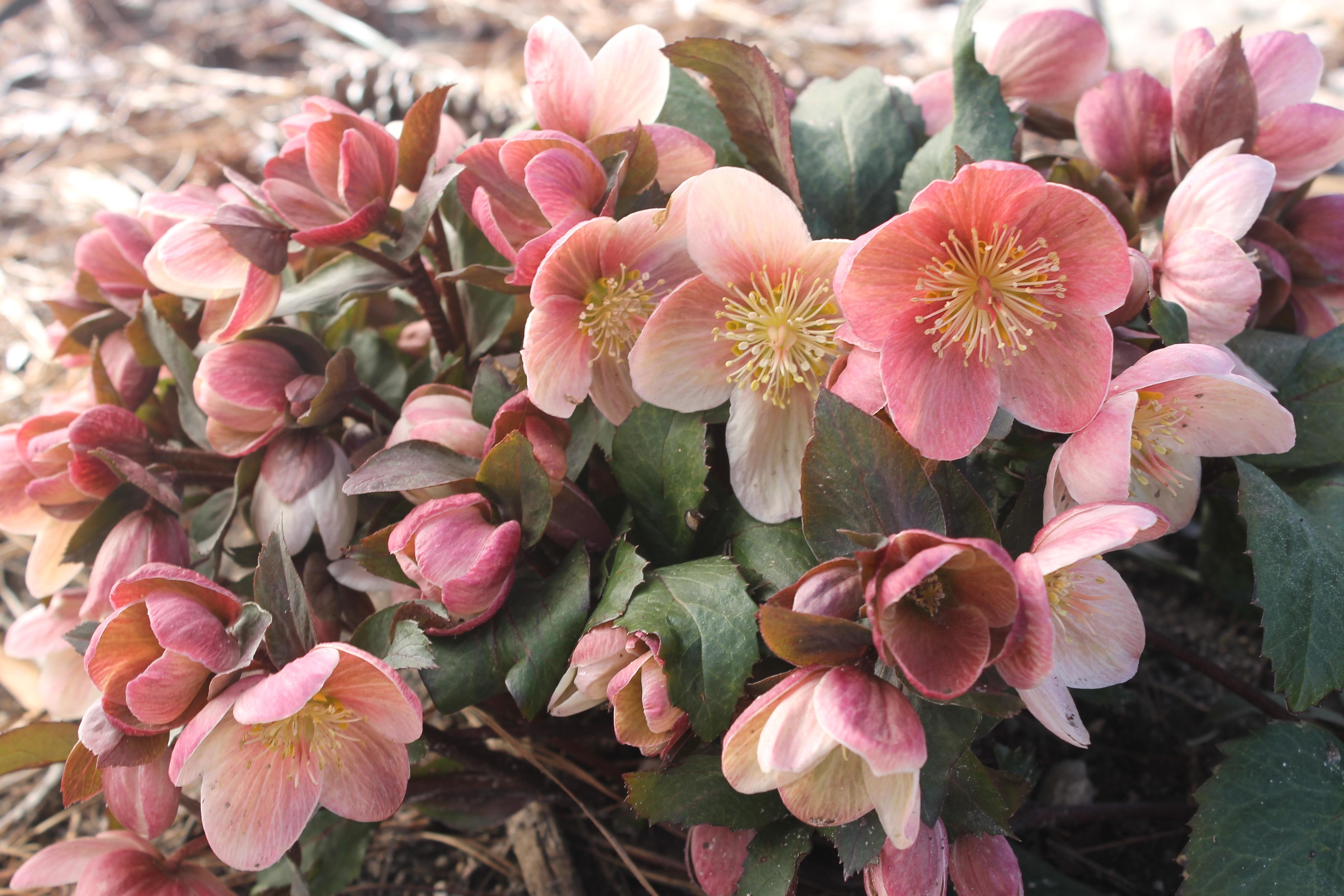 Helleborus HGC 'Pink Frost'