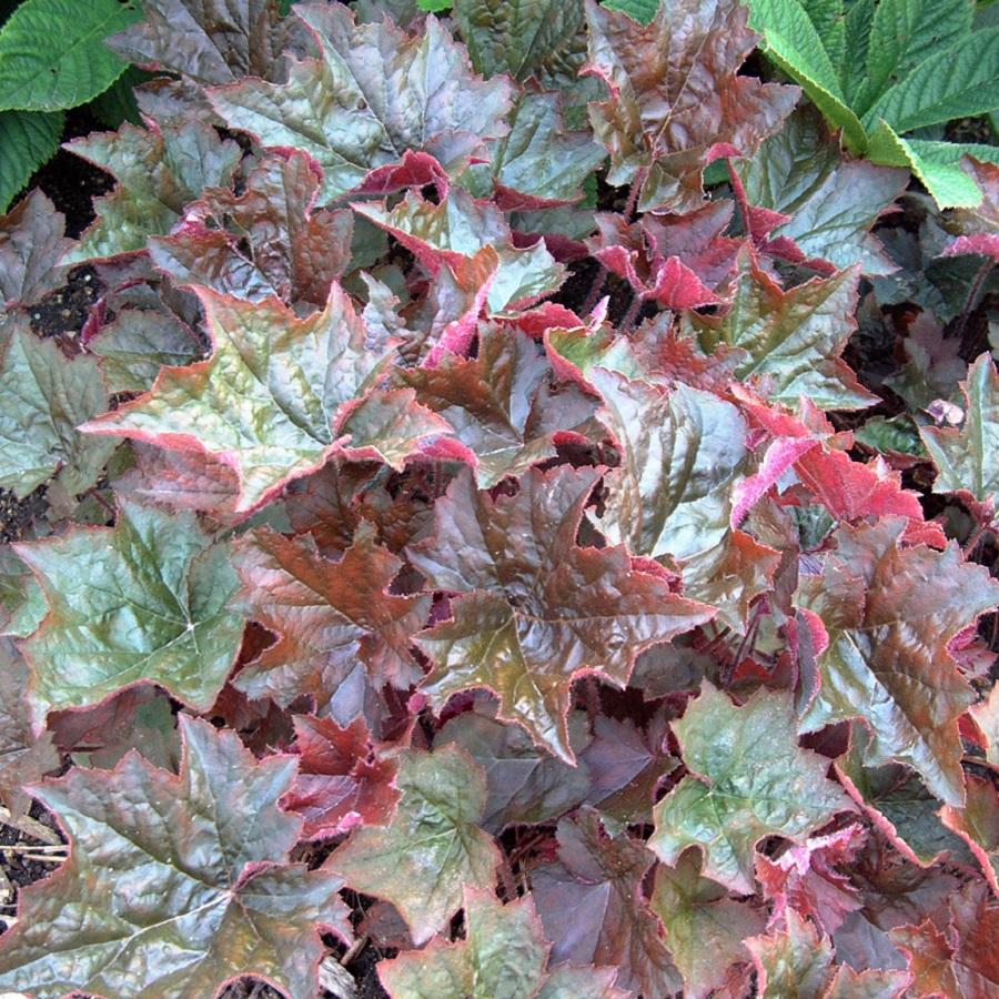 Heuchera micrantha 'Palace Purple'
