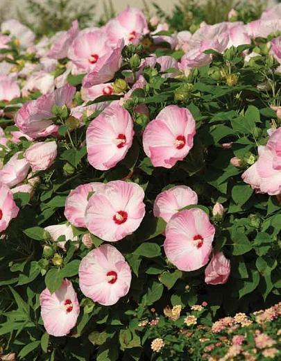 Hibiscus mos. 'Luna Pink Swirl'