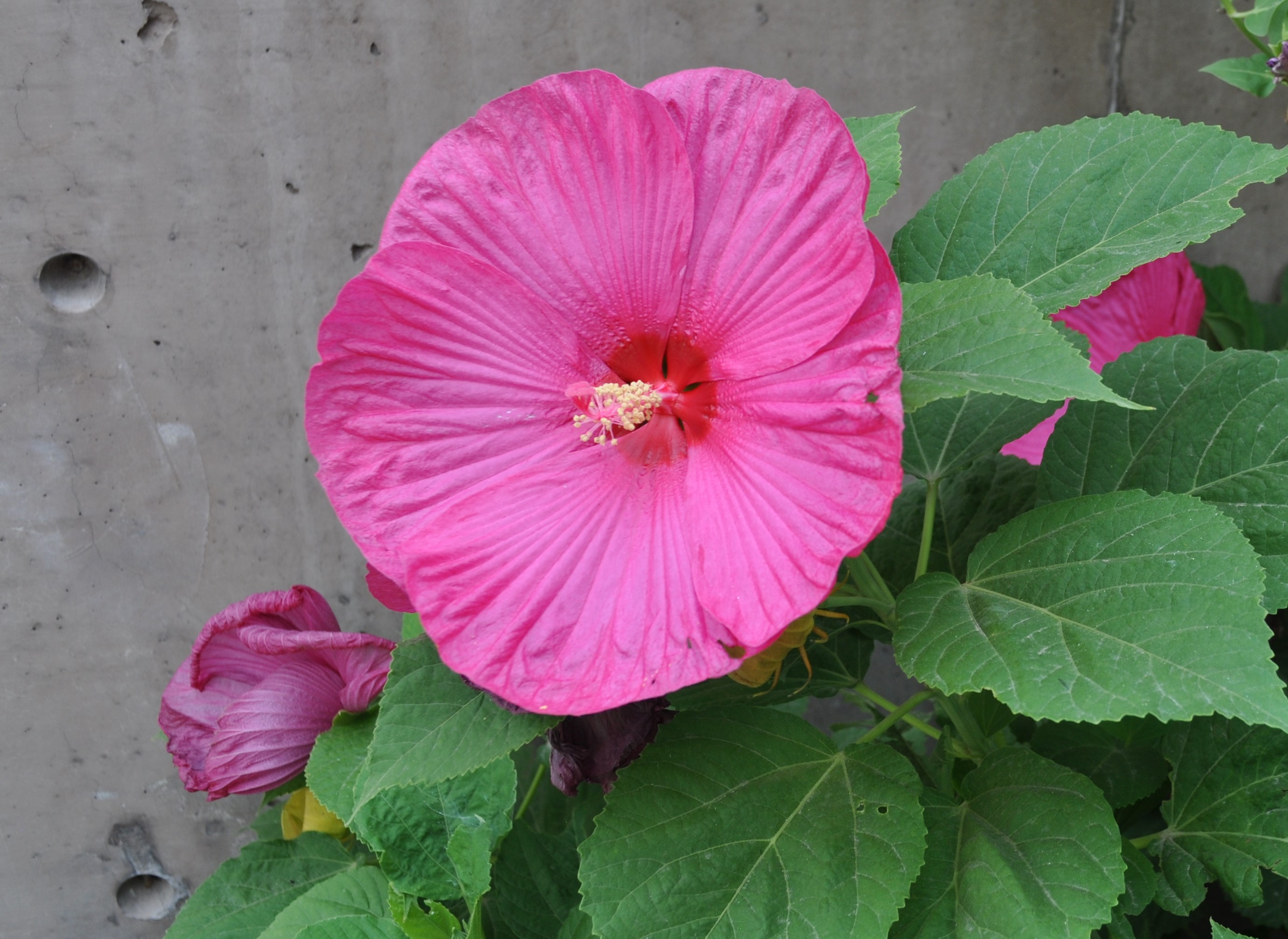 Hibiscus mos. 'Luna Rose'
