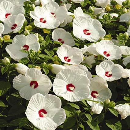 Hibiscus mos. 'Luna White'