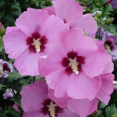 Hibiscus s. 'Minerva'