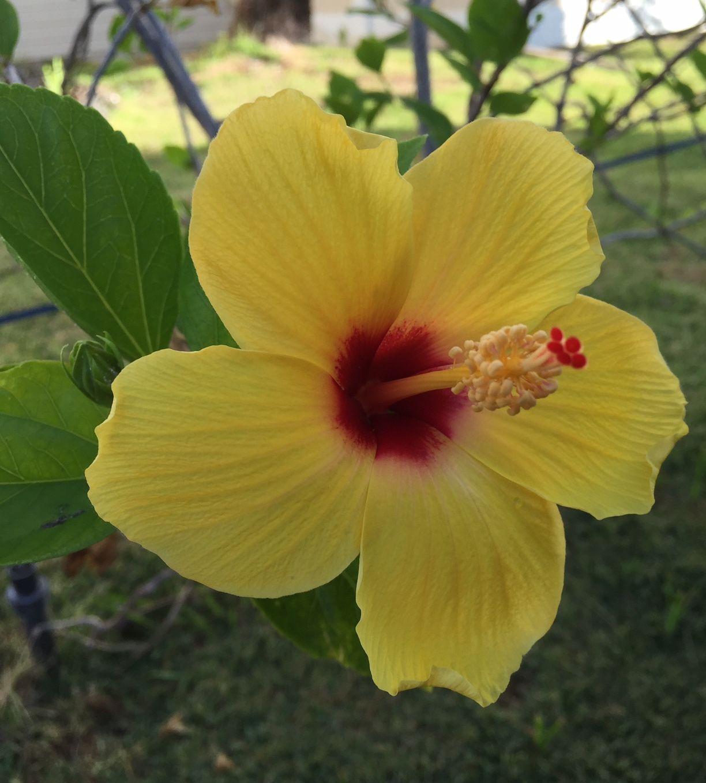 Hibiscus Sunny Yellow