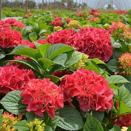 Hydrangea 'Grateful Red'