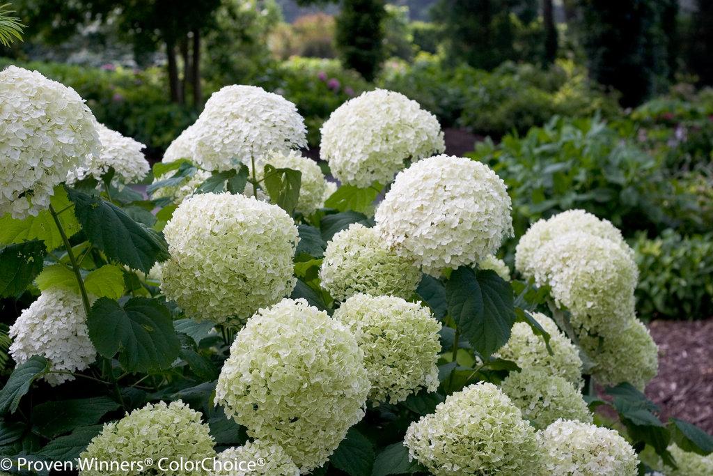 Hydrangea arborescens 'Incrediball'