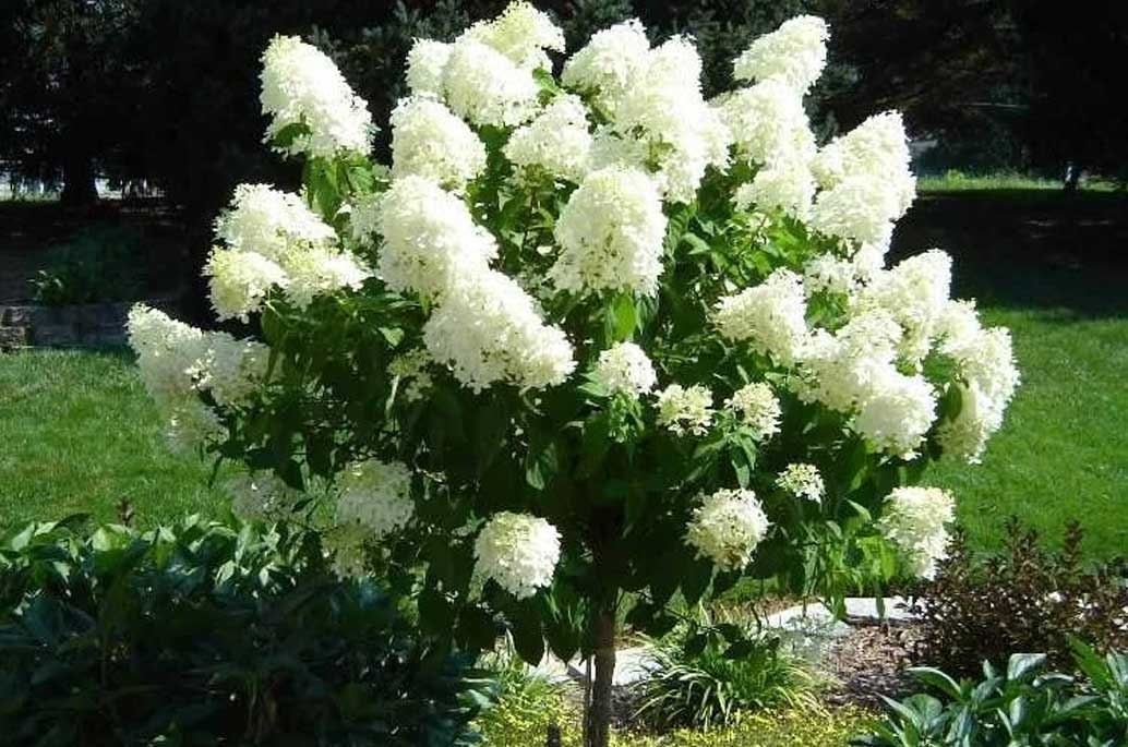 Hydrangea 'Limelight' STD