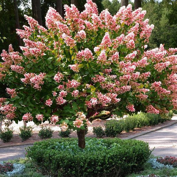 Hydrangea p. 'Vanilla Strawberry' STD