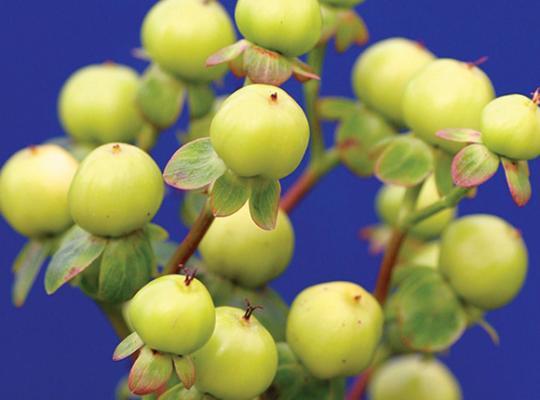 Hypericum Hyperberries Gold