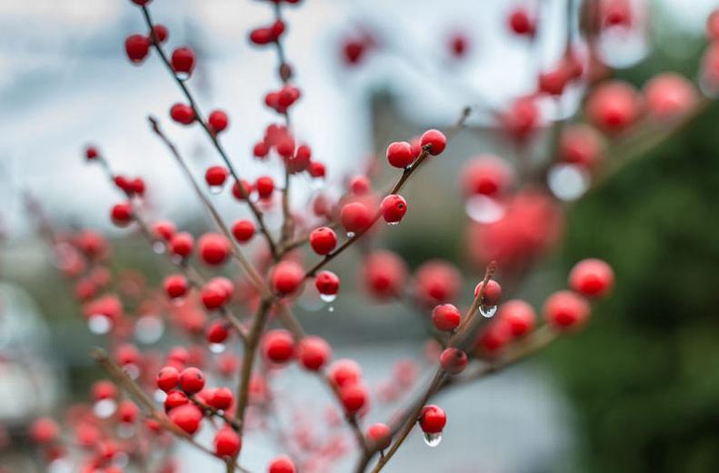 Ilex v. 'Winter Red'