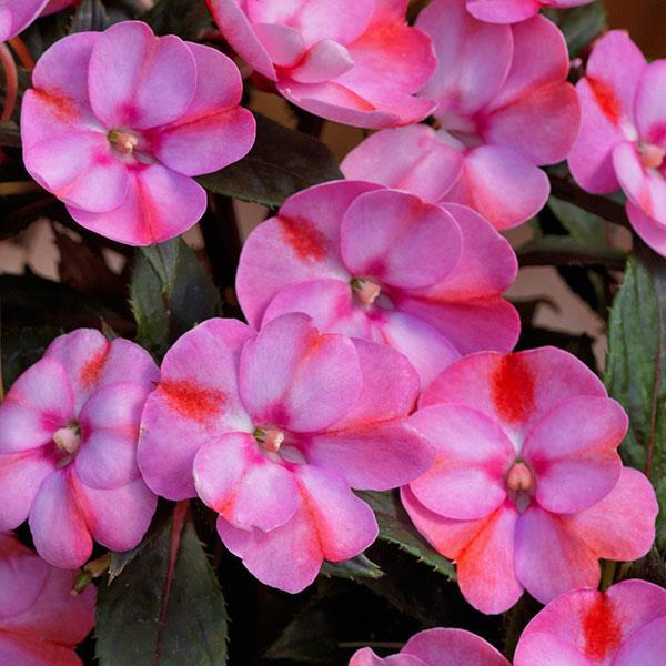 Impatiens Sunpatiens Comp Pink Candy