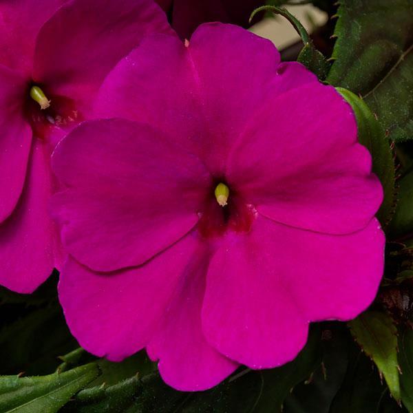 Impatiens Sunpatiens Comp Purple