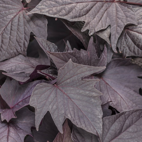 Ipomoea After Midnight