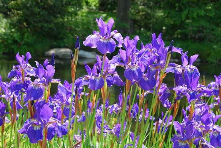 Iris sibirica 'Caesar's Brother'