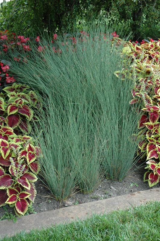 Grass - Juncus inflexus 'Blue Arrows'