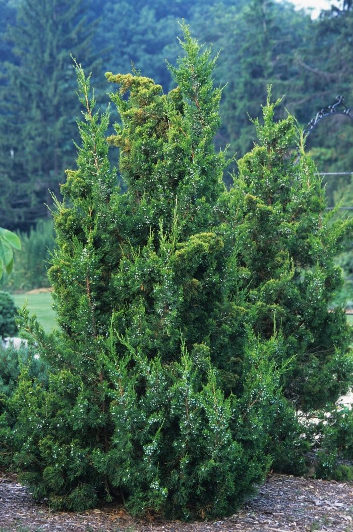 Juniperus 'Keteleeri'