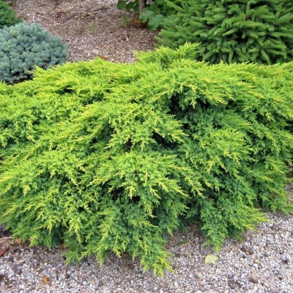 Juniperus ch. 'Gold Coast'