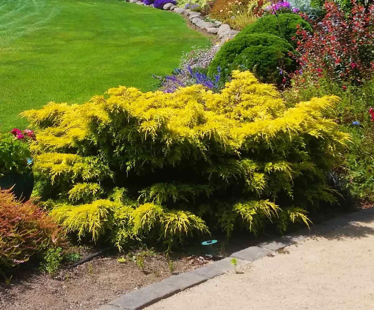 Juniperus Gold Star