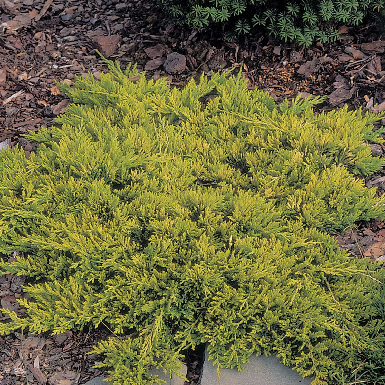 Juniperus h. 'Golden Carpet'