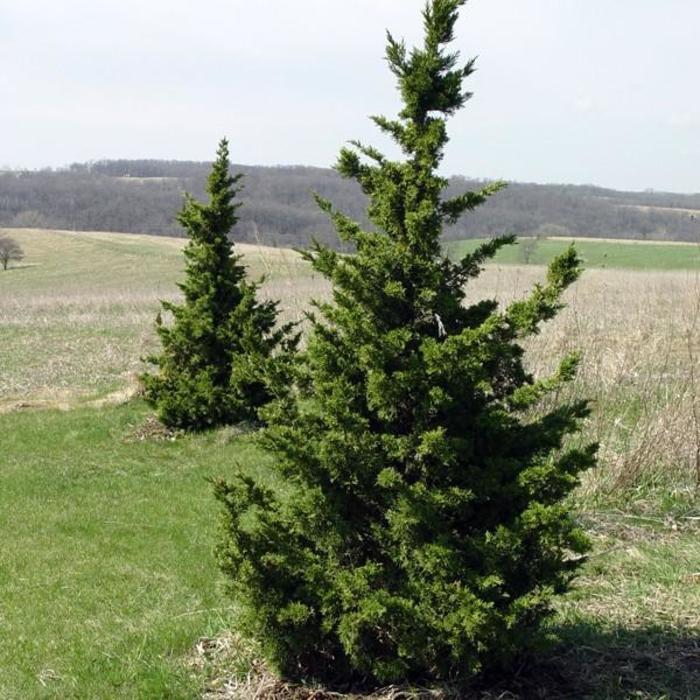 Juniperus chinensis 'Iowa'