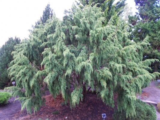 Juniperus pingii