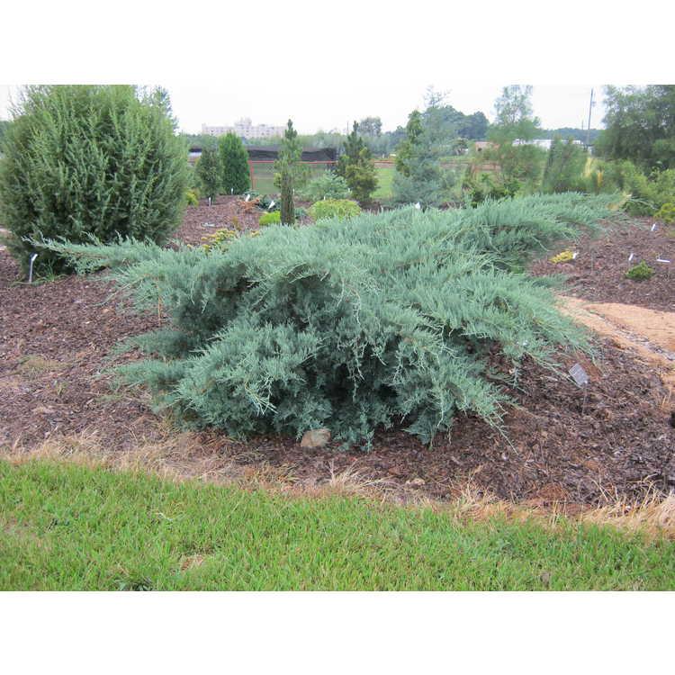 Juniperus v. 'Royo'