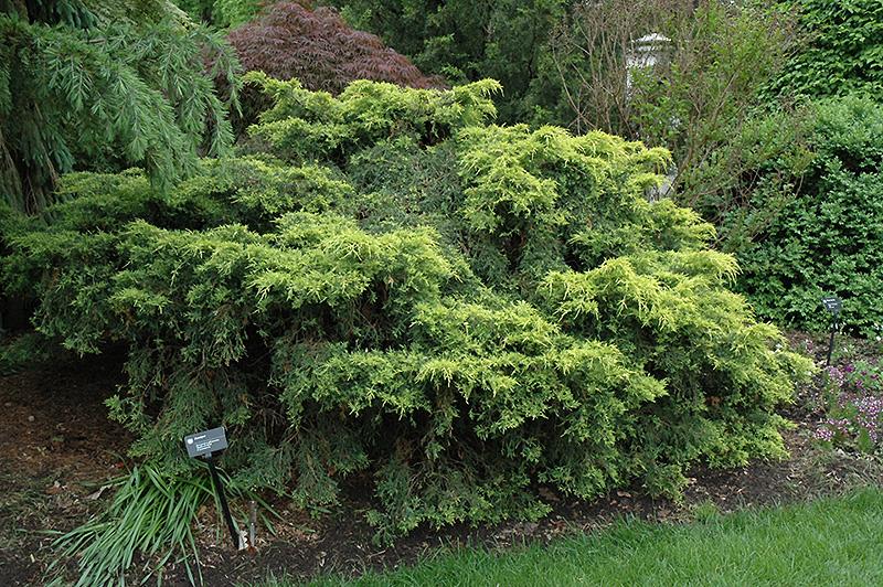 Juniperus x pfitz 'Saybrook Gold'