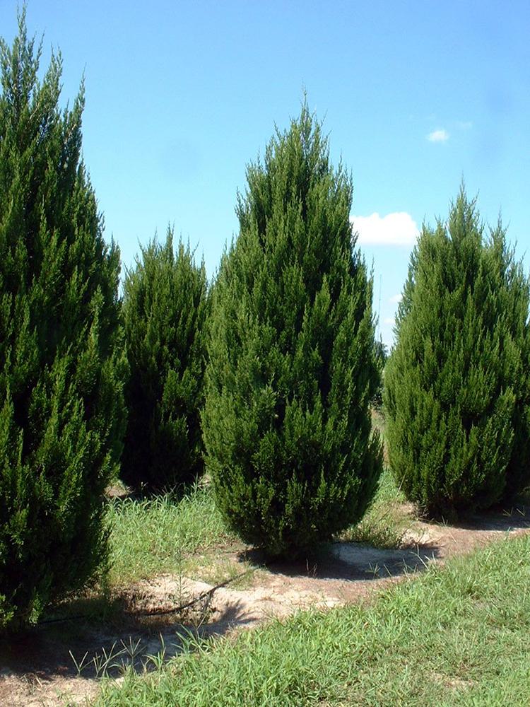 Juniperus 'Spartan'
